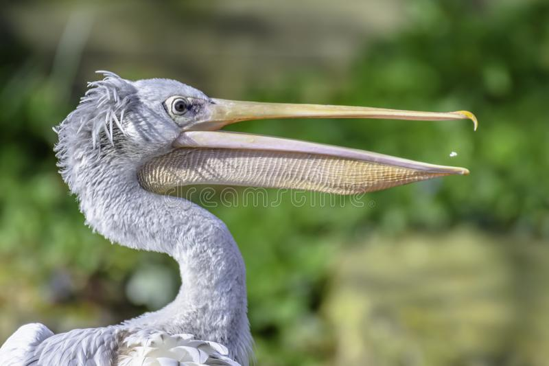 Retrato do perfil do pelicano fotografia de stock