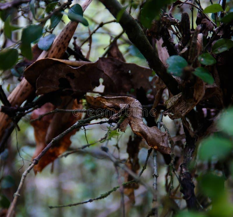 Retrato do phantasticus de Uroplatus, o geco folha-atado satânico no parque nacional de Fianarantsoa Ranomafana, madagascar foto de stock