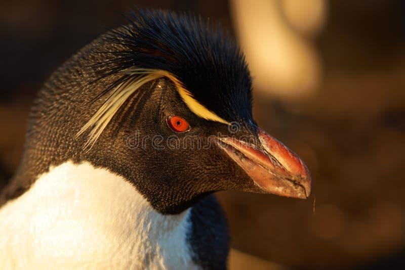 Retrato do pinguim de Rockhopper fotografia de stock royalty free