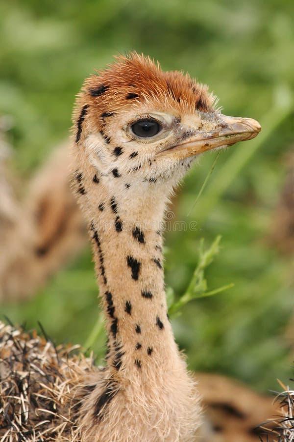 Retrato do pintainho da avestruz fotografia de stock