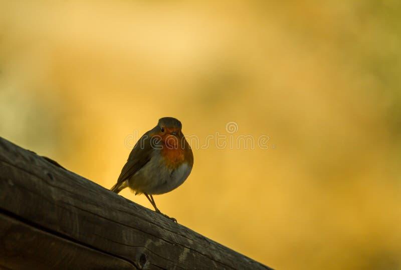 Retrato do pisco de peito vermelho no por do sol imagem de stock royalty free