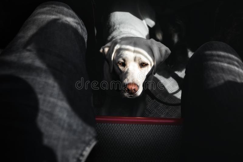Retrato do plutônio branco bonito novo bonito do cão de labrador retriever imagem de stock