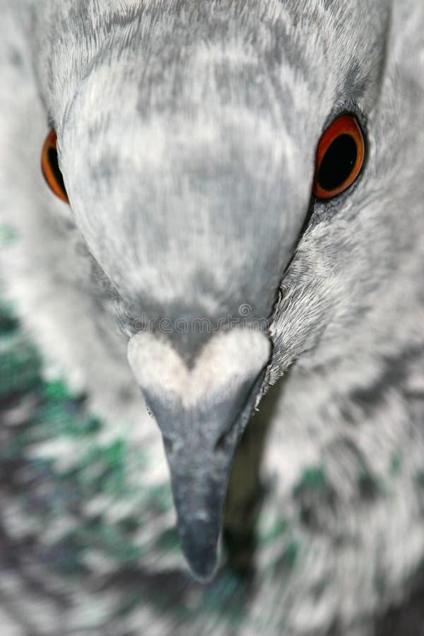 Retrato do pombo foto de stock royalty free