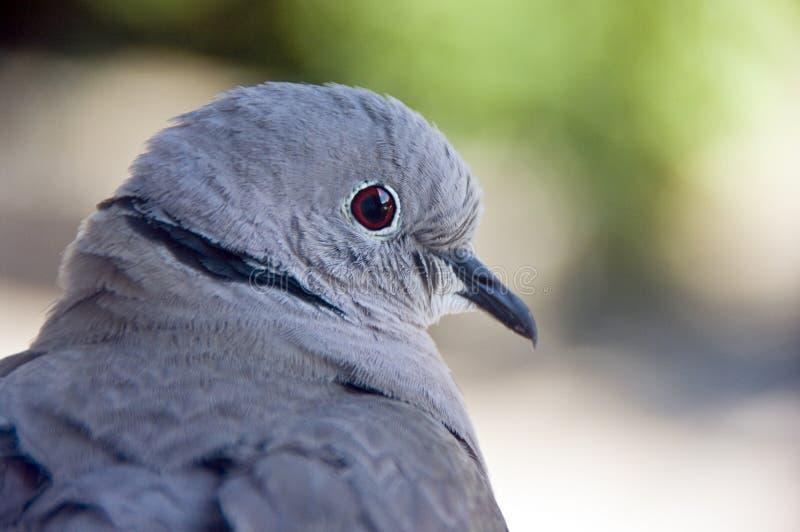 Retrato do pombo imagens de stock