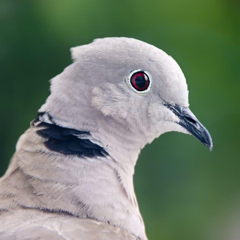 Retrato do pombo fotografia de stock