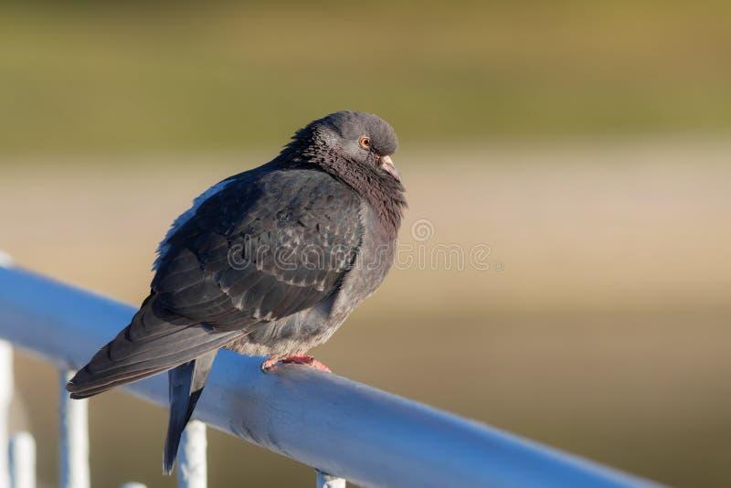 Retrato do pombo cinzento fotos de stock royalty free