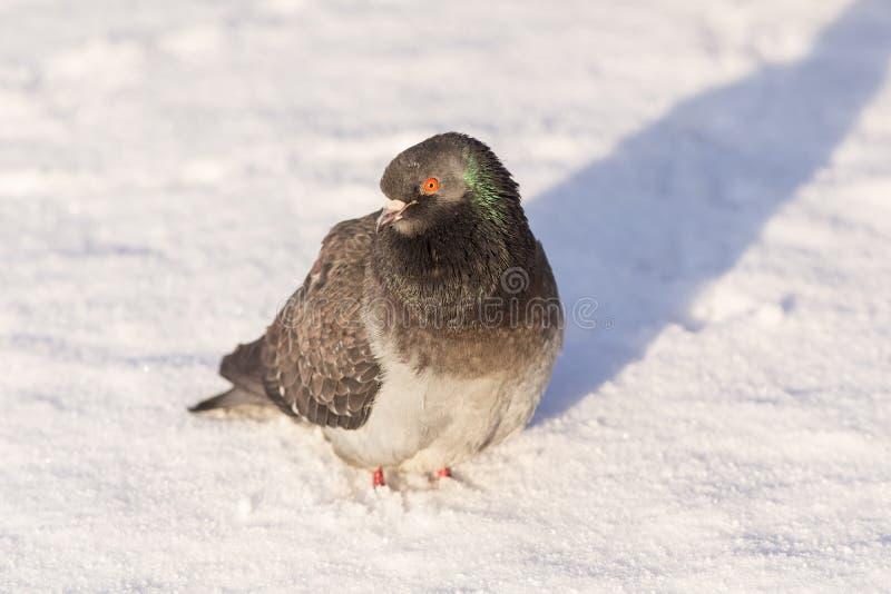 Retrato do pombo cinzento imagens de stock