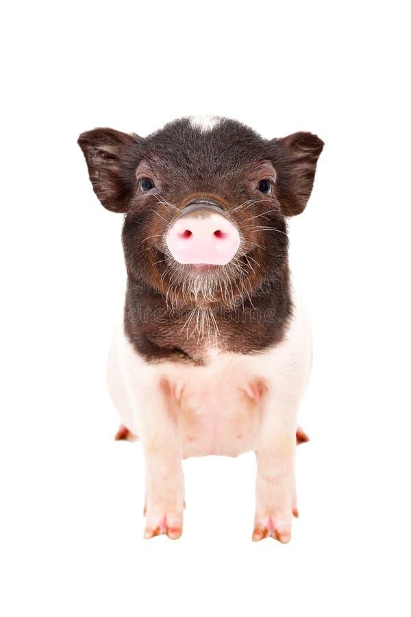 Retrato do porco pequeno encantador foto de stock
