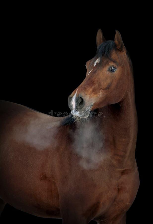 Retrato do potro árabe novo no fundo preto foto de stock