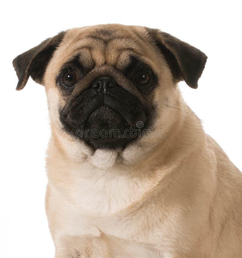 Retrato do Pug imagem de stock