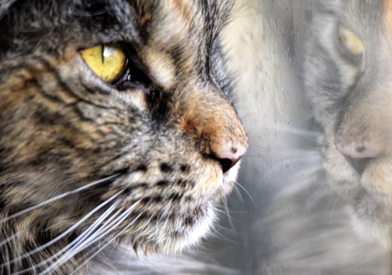 Retrato do racum de maine do gato que olha através da janela imagem de stock royalty free
