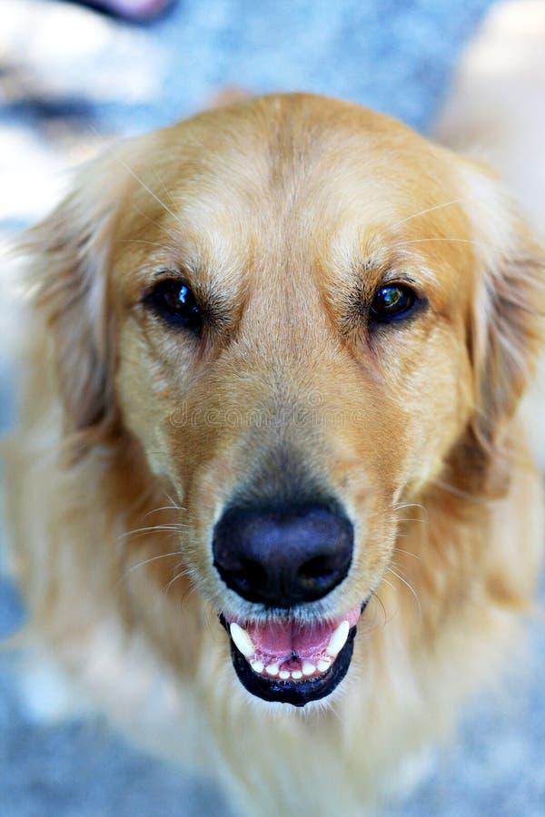 Retrato do Retriever dourado imagem de stock royalty free