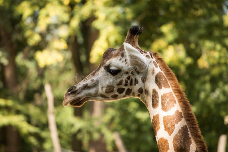 Retrato do rothschildi dos camelopardalis do Giraffa do girafa do ` s de Rothschild fotos de stock