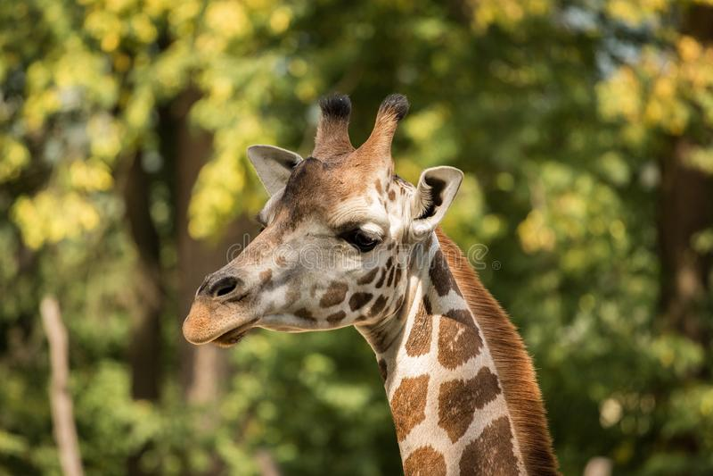 Retrato do rothschildi dos camelopardalis do Giraffa do girafa do ` s de Rothschild imagens de stock royalty free