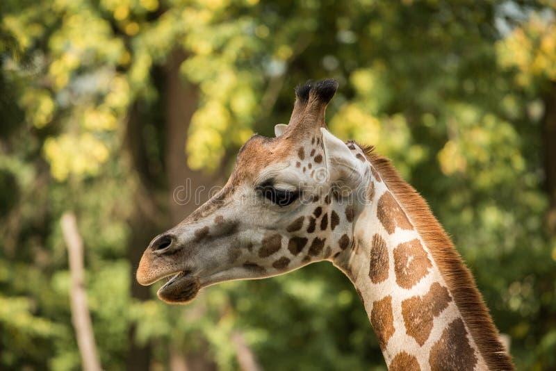 Retrato do rothschildi dos camelopardalis do Giraffa do girafa do ` s de Rothschild foto de stock royalty free
