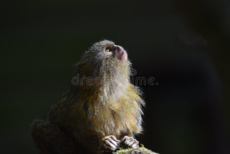 Retrato do sagui de pigmeu foto de stock royalty free