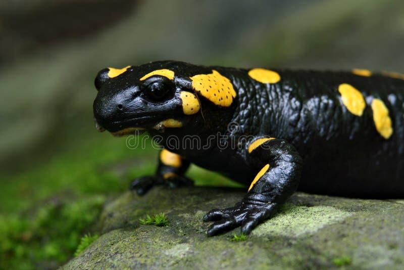 Retrato do Salamander fotografia de stock royalty free