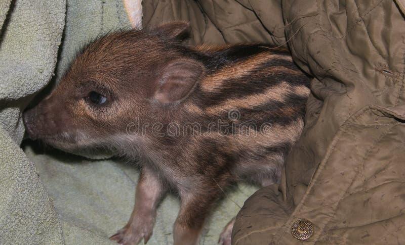 Retrato do scrofa do Sus do javali do bebê, igualmente conhecido como os suínos selvagens foto de stock