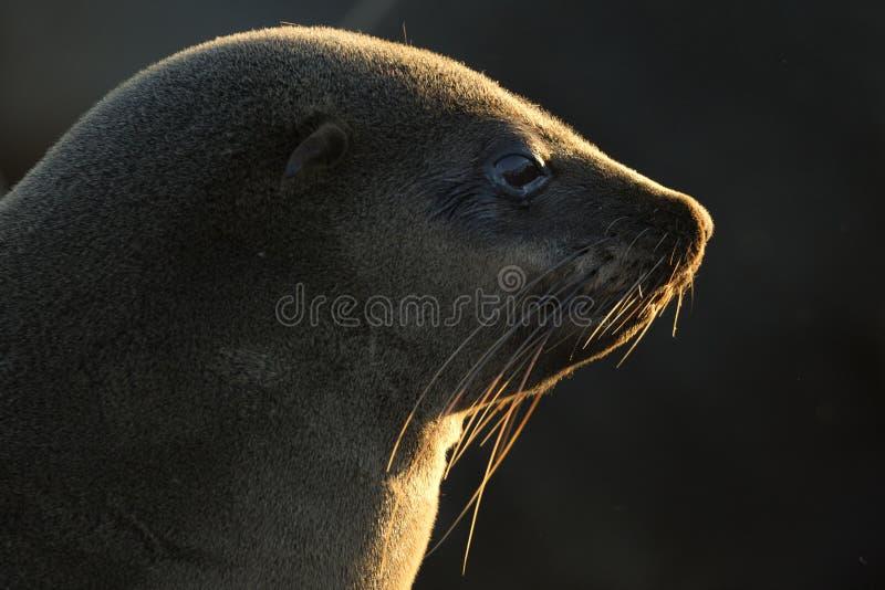 Retrato do selo em alguma luz bonita nafta imagem de stock