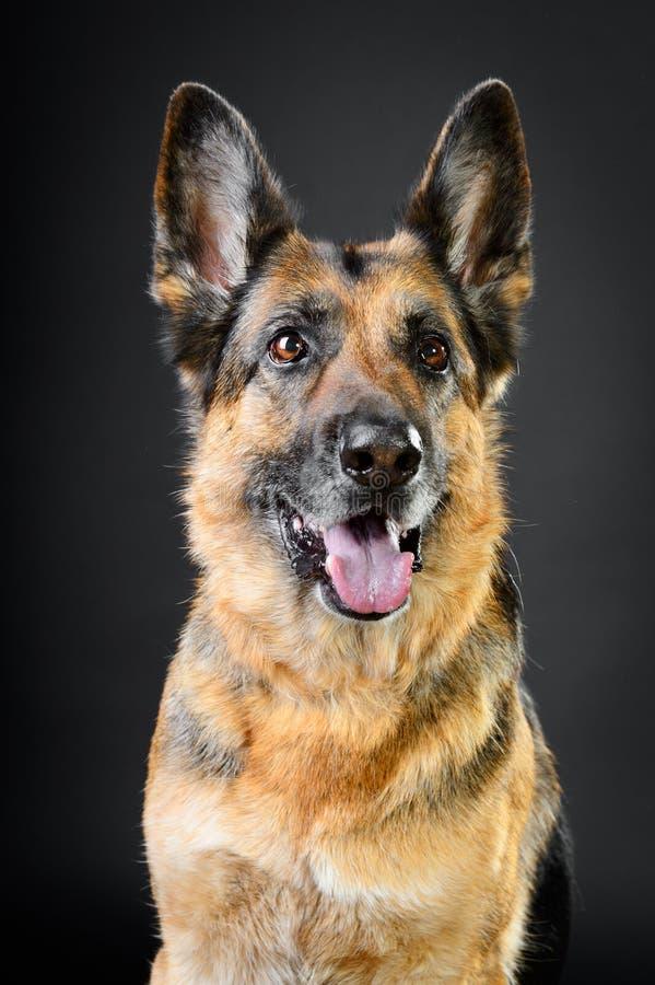 Sheepdog alemão no fundo escuro foto de stock royalty free