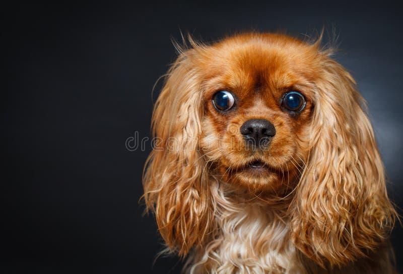 Retrato do spaniel de rei Charles descuidado bonito imagem de stock royalty free