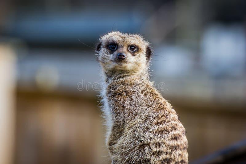 Retrato do suricata de Meerkat imagem de stock royalty free
