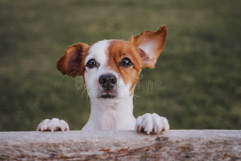 Retrato do terrier pequeno bonito de russell do jaque que está em duas patas na grama em um parque que olha a câmera Divertimento fotografia de stock royalty free