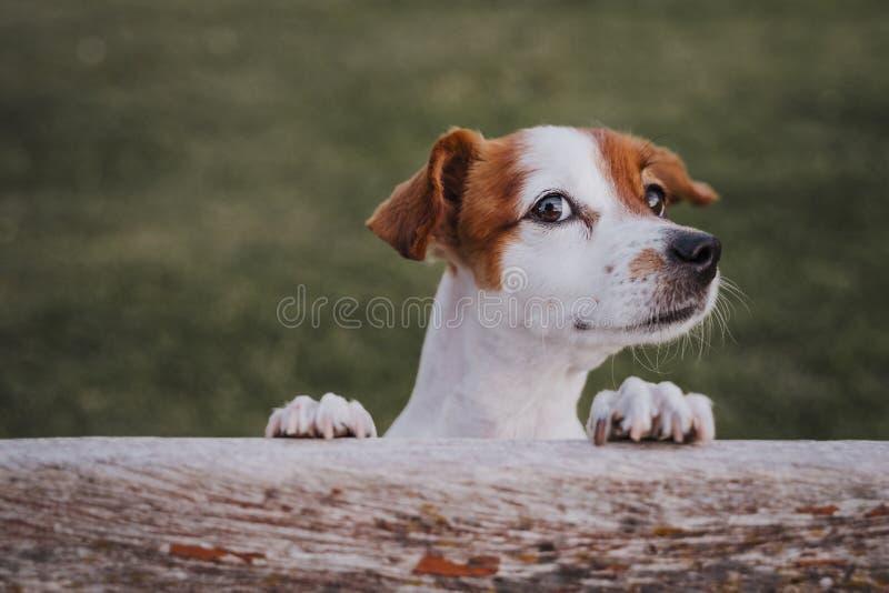 Retrato do terrier pequeno bonito de russell do jaque que está em duas patas na grama em um parque que olha a câmera Divertimento fotos de stock royalty free