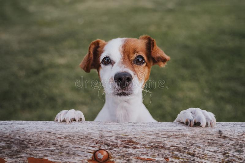 Retrato do terrier pequeno bonito de russell do jaque que está em duas patas na grama em um parque que olha a câmera Divertimento imagem de stock