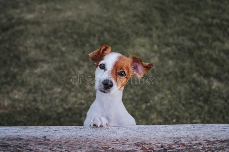 Retrato do terrier pequeno bonito de russell do jaque que está em duas patas na grama em um parque que olha a câmera Divertimento foto de stock