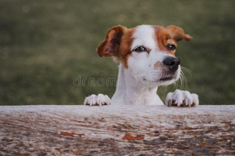 Retrato do terrier pequeno bonito de russell do jaque que está em duas patas na grama em um parque que olha a câmera Divertimento imagens de stock