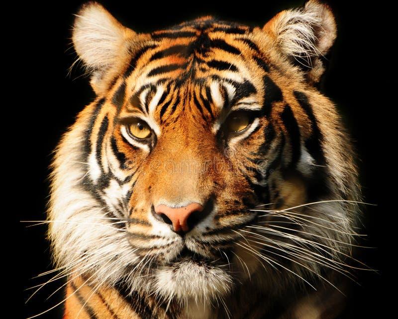 Retrato do tigre fotografia de stock royalty free