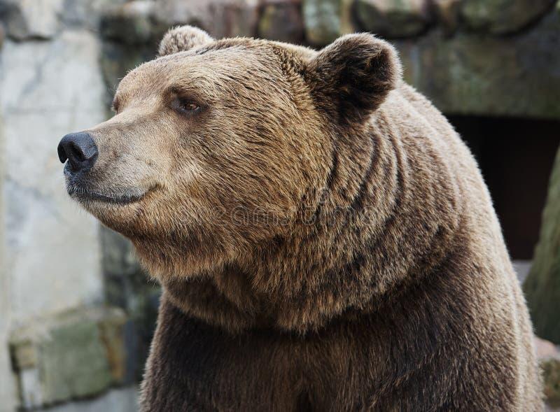 Retrato do urso de Brown fotografia de stock royalty free