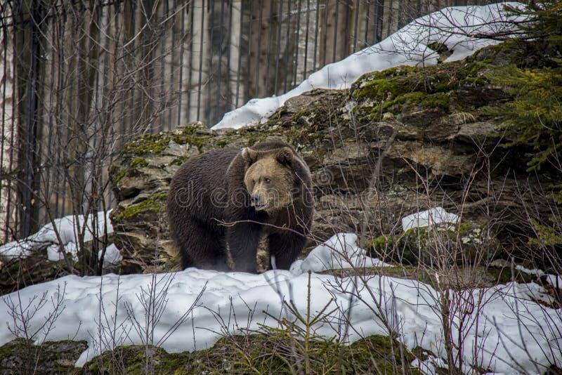 Retrato do urso de Brown na neve foto de stock royalty free