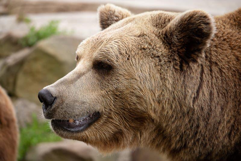 Retrato do urso de Brown imagem de stock royalty free