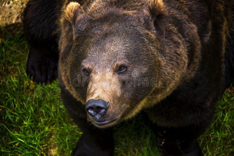 Retrato do urso marrom fotos de stock royalty free
