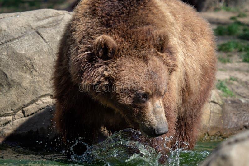 Retrato do urso marrom imagem de stock