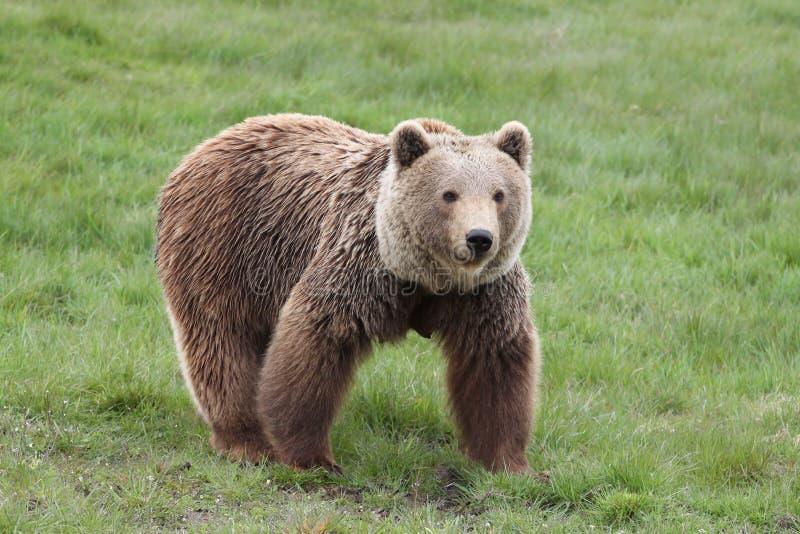Retrato do urso marrom imagens de stock royalty free