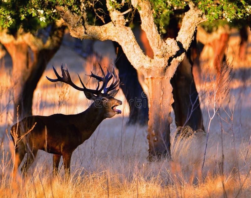Retrato do veado adulto poderoso majestoso dos veados vermelhos imagem de stock royalty free