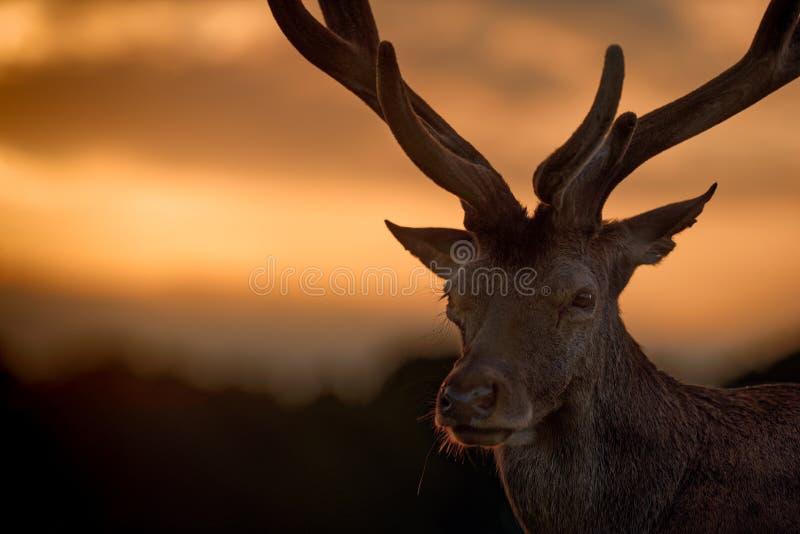 Retrato do veado dos veados vermelhos no por do sol imagem de stock royalty free