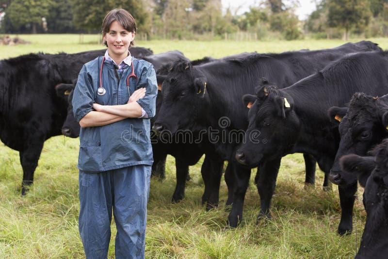 Retrato do veterinário no campo com gado imagem de stock