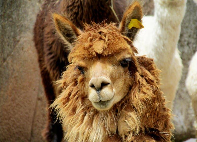Retrato domesticado peludo da alpaca de Brown fotos de stock royalty free