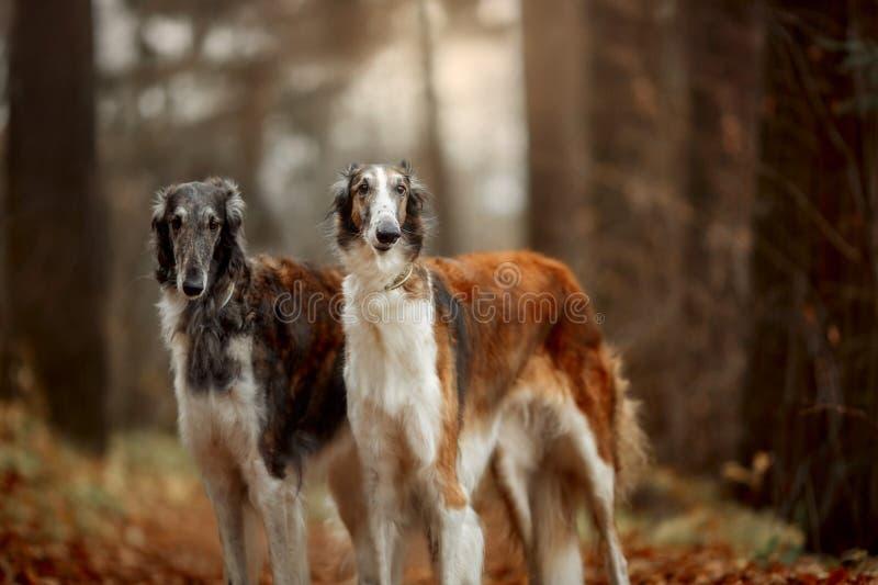 Retrato dos cães do borzói do russo em um parque do outono fotos de stock royalty free