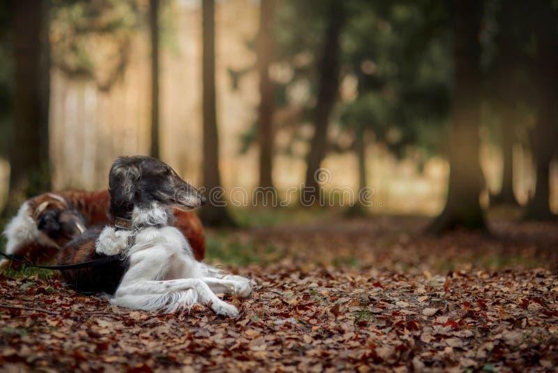 Retrato dos cães do borzói do russo em um parque do outono fotografia de stock royalty free