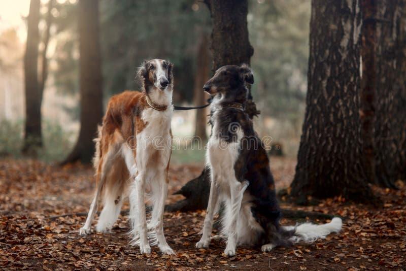 Retrato dos cães do borzói do russo em um parque do outono imagens de stock royalty free