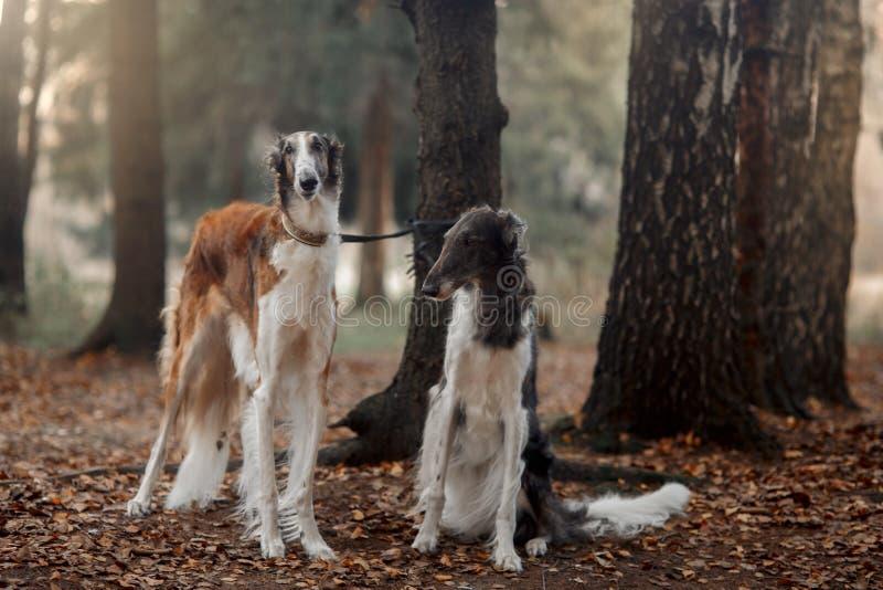 Retrato dos cães do borzói do russo em um parque do outono foto de stock