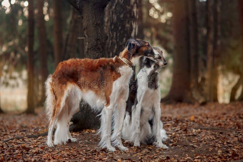 Retrato dos cães do borzói do russo em um parque do outono fotos de stock