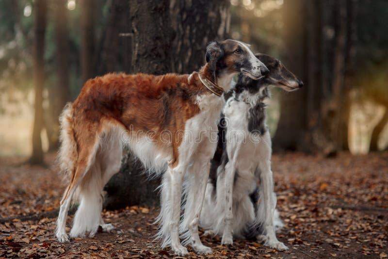 Retrato dos cães do borzói do russo em um parque do outono imagem de stock royalty free