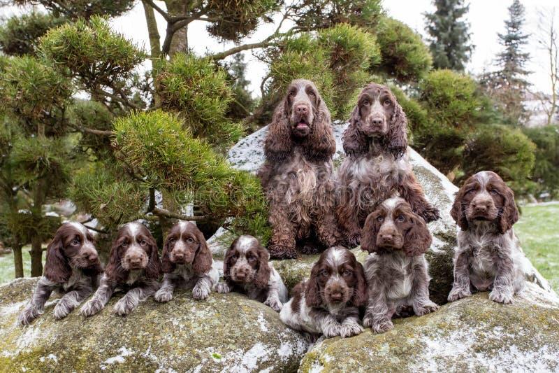 Retrato dos campeões da família de cocker spaniel do inglês fotos de stock