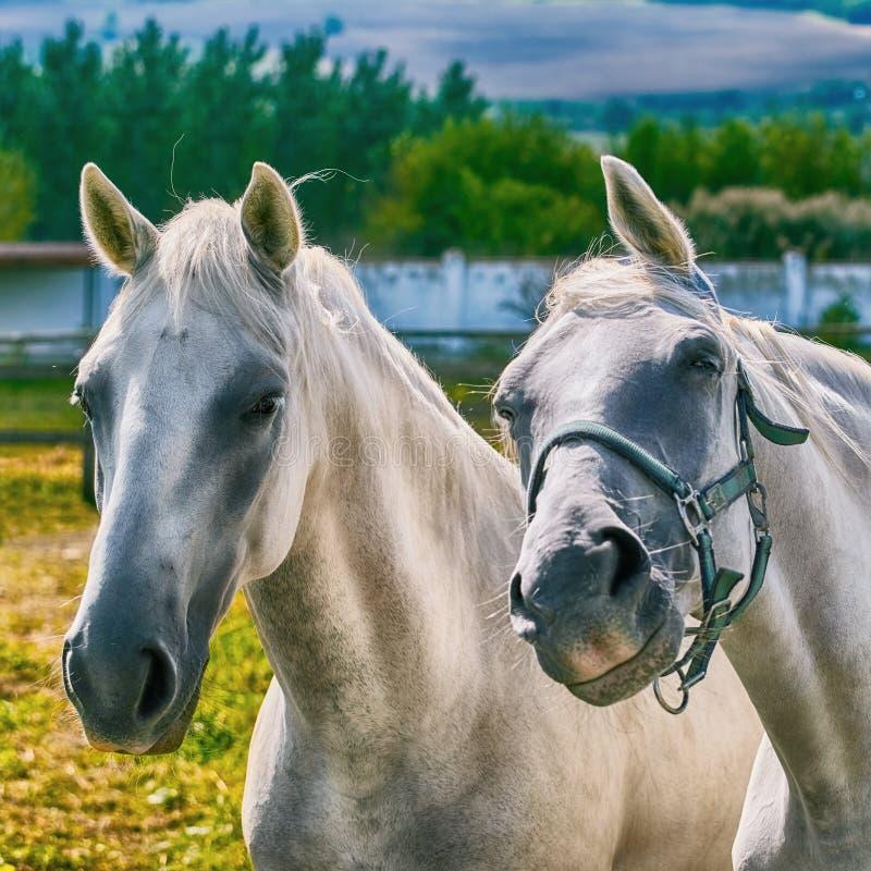 Retrato dos cavalos fotos de stock